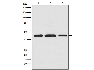 Anti-PRAS40 Monoclonal Antibody