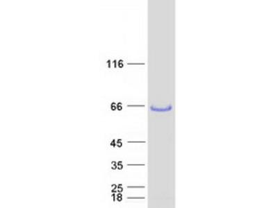 LSP1 (NM_002339) Human Mass Spec Standard