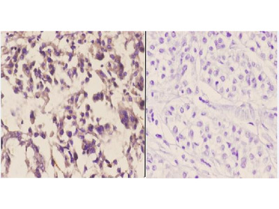 Anti-CYP3A4/5 (F386) Antibody