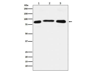 Anti-LSD2 / AOF1 Monoclonal Antibody