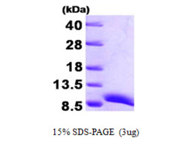 Copper Transport Protein ATOX1 Human Recombinant Protein