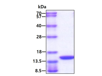 GM-CSF Granulocyte Macrophage-Colony Stimulating Factor Mouse Recombinant Protein