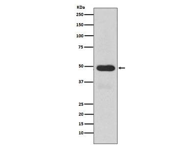 Anti-Cytochrome P450 3A4 Monoclonal Antibody