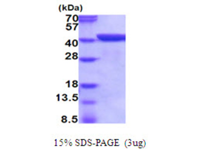 ANXA1 Annexin A1 Mouse Recombinant Protein