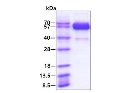 IL15RA Interleukin 15 Receptor Alpha, Recombinant Protein Human