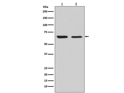 Anti-CRMP2 Monoclonal Antibody