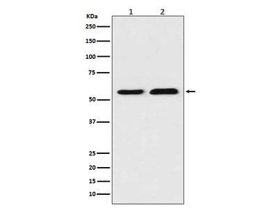 Anti-TXNRD1 Rabbit Monoclonal Antibody