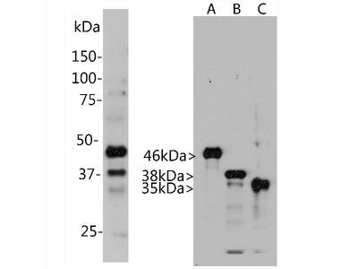 Anti-Aurora A/B/C Kinase Aurkb Monoclonal Antibody