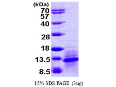 I-309 (CCL1) Human Recombinant Protein, His Tag