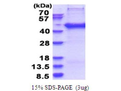 SERTAD2 SERTA Domain Containing 2 Human Recombinant Protein