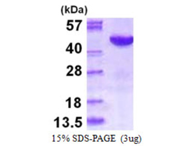 MAPK12 Mitogen-Activated Protein Kinase 12 Human Recombinant Protein