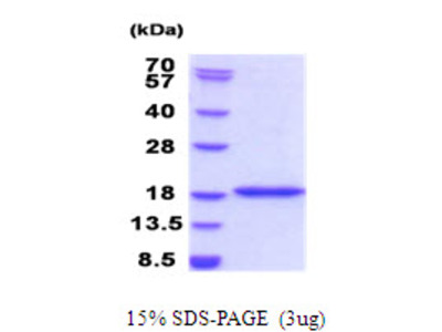 BRD1 Bromodomain Containing 1 Human Recombinant Protein