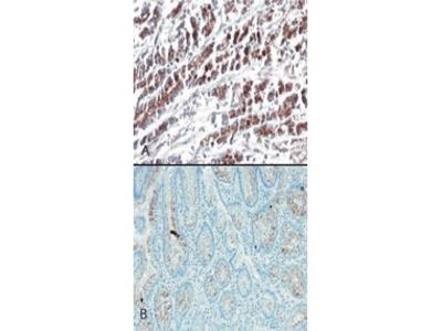 Anti-HtrA2/Omi (human) Monoclonal Antibody (196C429)
