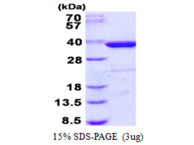 Human Syntaxin 4 Recombinant Protein
