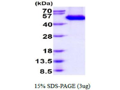 CLEC2B C-type Lectin Domain Family 2, Member B Human Recombinant Protein