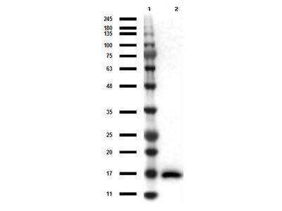 Anti-IL-17A Monoclonal Antibody