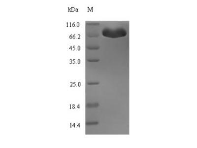 Recombinant Escherichia coli Bifunctional protein HldE (hldE)