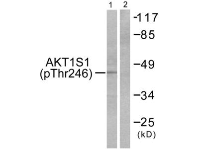Akt1 S1 (Phospho-Thr246) Antibody