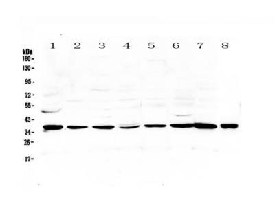 Anti-Thrombopoietin Picoband antibody