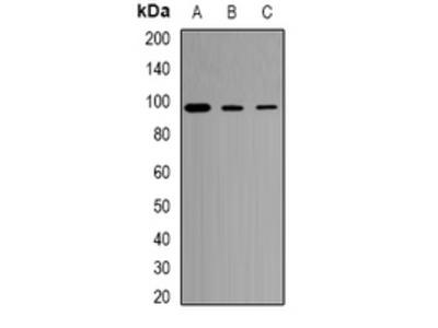 Anti-CD281 Antibody