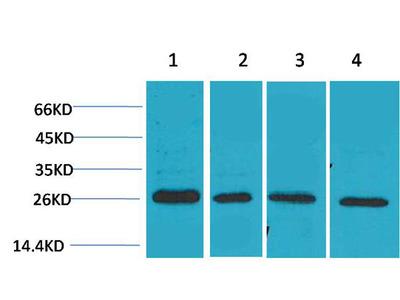 SLUG Rabbit Polyclonal Antibody (TDY201)
