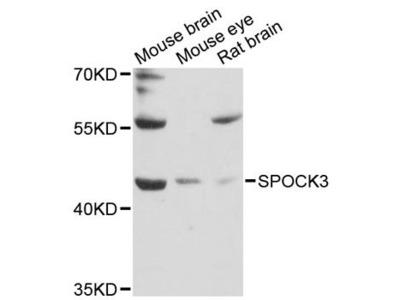 SPOCK3 Polyclonal Antibody