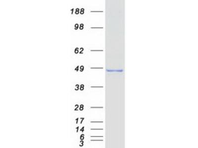 SEPT6 (NM_015129) Human Mass Spec Standard
