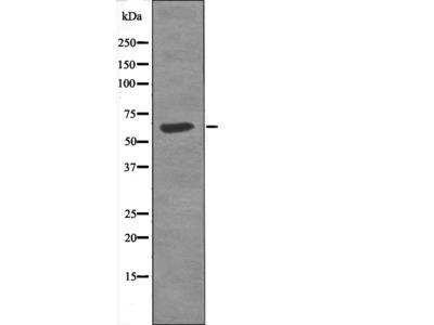 MAP2 (Phospho-Thr1616) Antibody