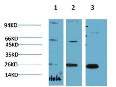 HP-1gamma Mouse Monoclonal Antibody(2F5)