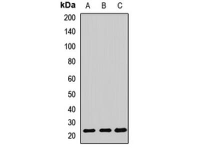 Anti-Cyclophilin C Antibody
