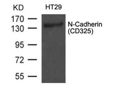 N-Cadherin Antibody