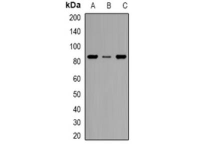 Anti-KIM1 Antibody