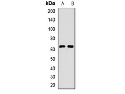 Anti-Tricellulin Antibody
