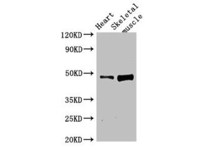 LEXM Antibody
