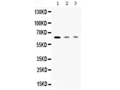 Anti-AMHR2 Antibody