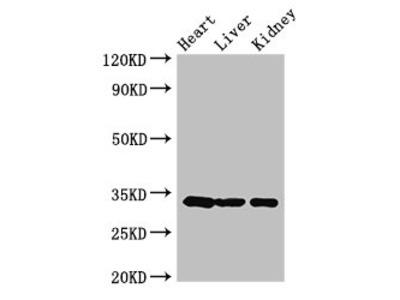 CCND2 Antibody