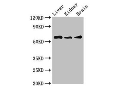 CHRM5 Antibody