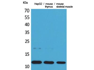 CCL11 Antibody