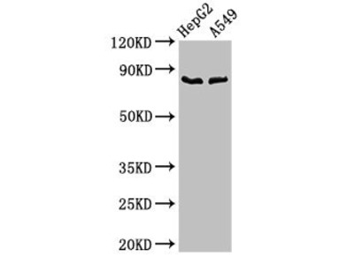 CFB Antibody