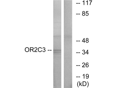 OR2C3 Antibody