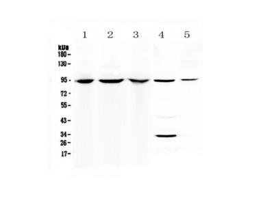 Anti-Complement C7 Picoband antibody