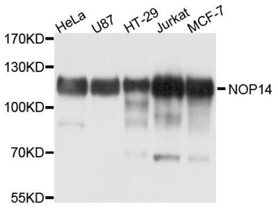 NOP14 Polyclonal Antibody
