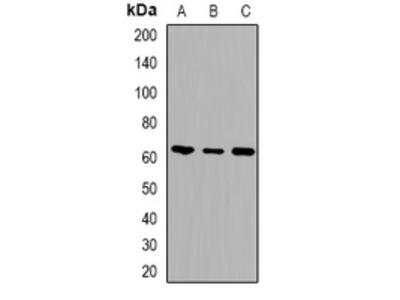 Anti-Alpha-taxilin Antibody