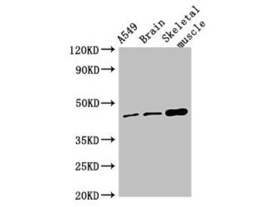 TMEM43 Antibody