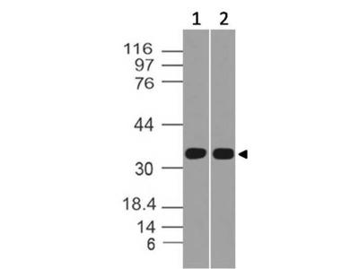 Mouse Anti-ICOS-ligand Antibody