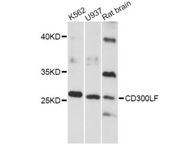 CD300LF Polyclonal Antibody