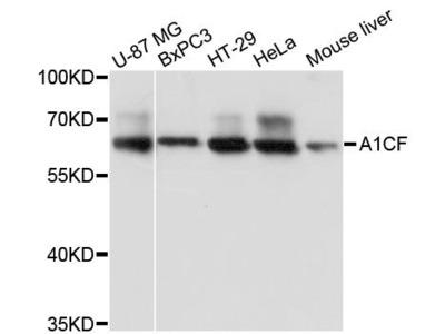 A1CF Polyclonal Antibody