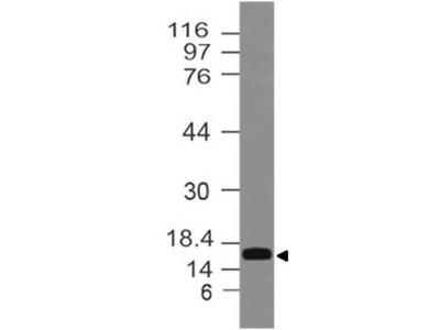 Polyclonal Antibody to LC3 A