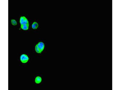 Thrsp Antibody