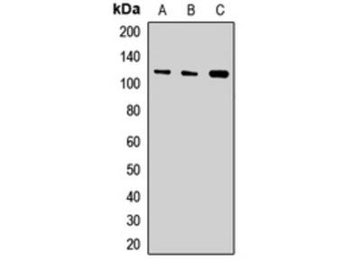 Anti-Exportin-T Antibody